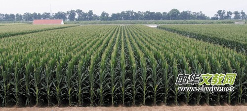 手绘写实玉米